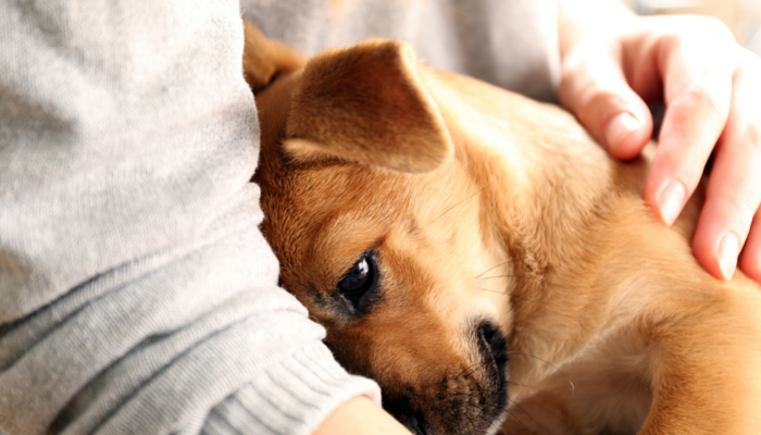 a brown puppy nuzzles his owners arm