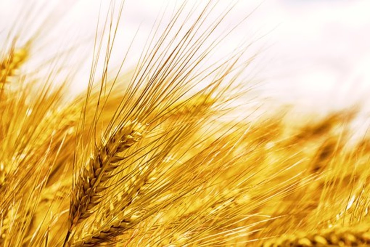 wheat a source of fiber which may help reduce depression symptoms
