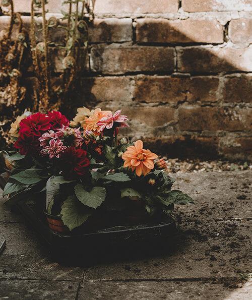 afbeelding van kleine dahlia's in een zaaibakje. De achtergrond is een bakstenen muur waar varens op groeien.