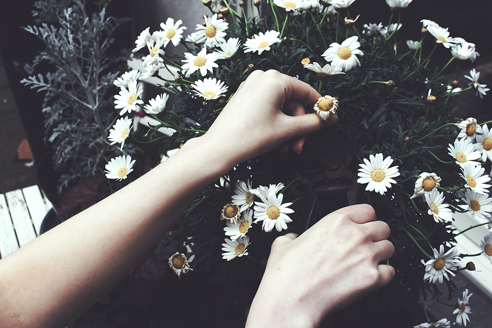 Image of a shrub of daisies, there's someone's hand holding one of the flowers while they use secateurs in their other hand to cut it off. The flowers they cut off is wilted.