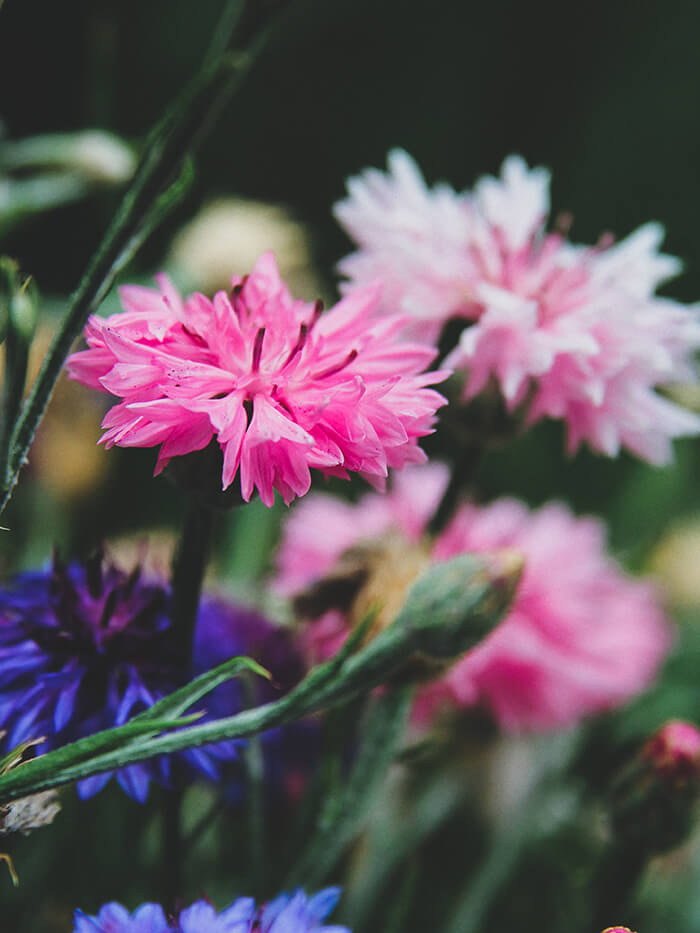 A photo of pink and blue cornflowers, a close-up of several blooms on a plant with a blurry background