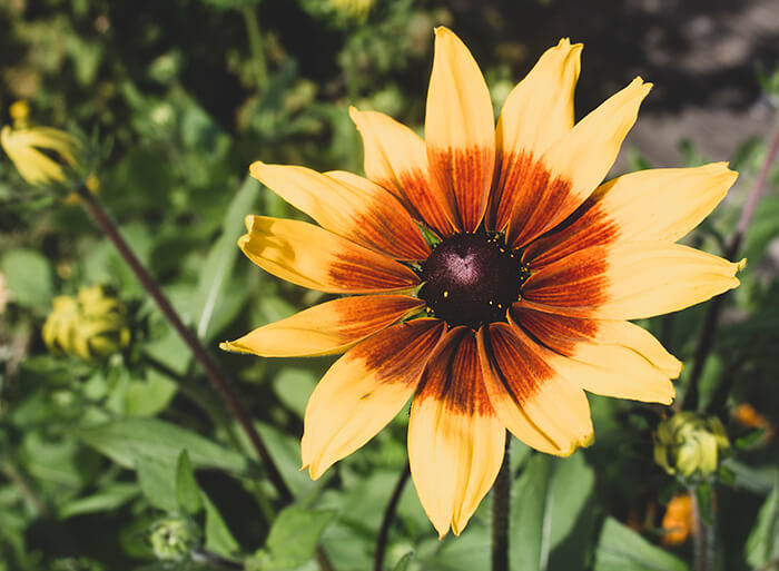 a photo of a rudbeckia flower, it has long dark yellow petals which have had a photo filter applied o they now look paler with a brown center of the flower