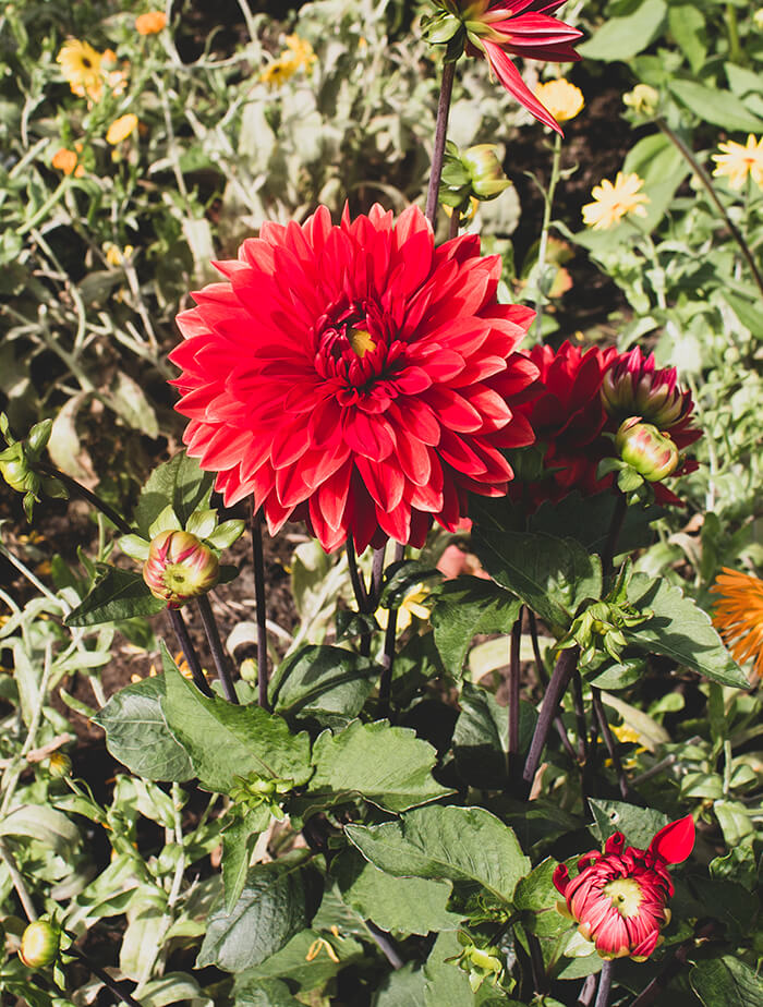 photo of a dahlia plant with several red dahlia flowers in bloom and a bunch of buds too