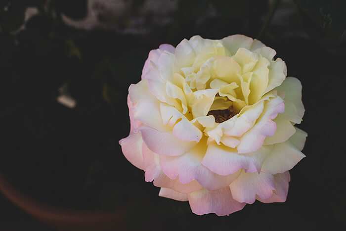photo of beautiful hybrid tea rose 'peace'. On a blurred background we can just make out a terracotta pot and some rose stems. In the foreground we see a single rose with big blousy petals, the lower petals have a very soft pink tone and they fade into a very pale yellow at the top.