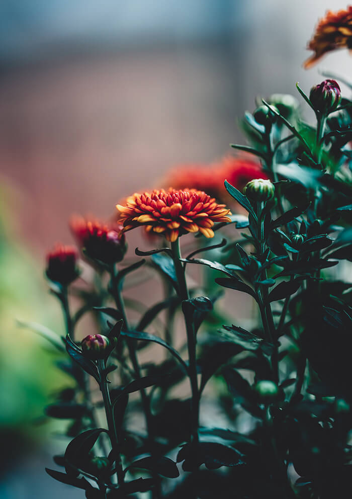 photo of chrysanthemums. Chrysanthemum flowers on a plant, some flowering some are in bud. The flowers have a red center with petals turning yellow at the ends.