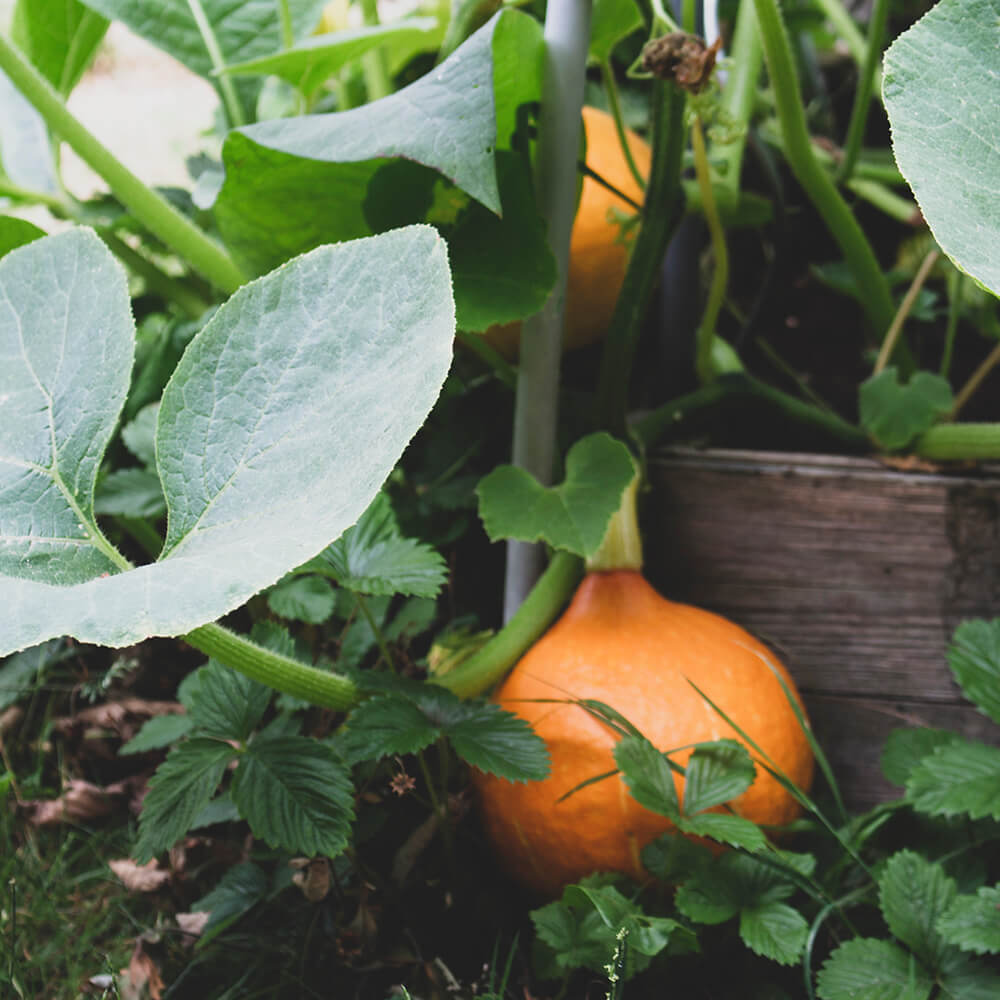 photo of a small orange pumpkin on a vine. It's growing in a raised bed, you can see some of the wood of the bed behind the pumpkin.