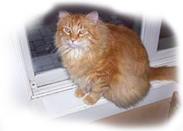 Orange tiger cat 'Petey'