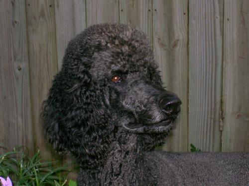 Poodle dog 'Wagner'