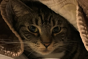 Cat hiding under covers 'Bella'