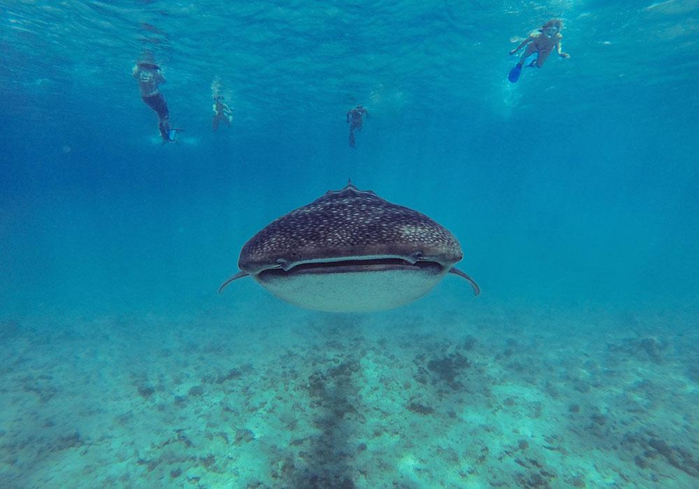 Drift Thelu Veliga Resort Atollo Ari Sud diving squalo balena