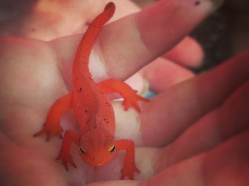 close up image of the Eastern red-spotted newt salamander in the palm of a young girl while camping in Stone Mountain State Park, North Carolina