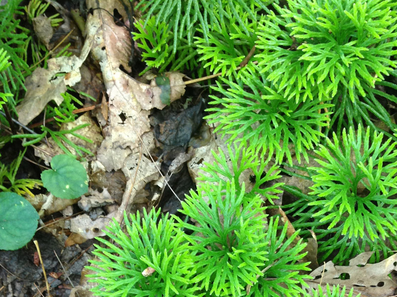 Photo of evergreen southern ground cedar or fan clubmoss, a lycopod, while camping at Stone Mountain State Park, North Carolina