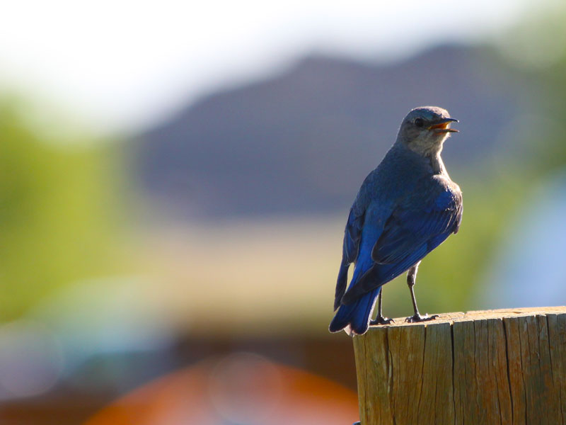 Badlands National Park image of male mountain bluebird resting on fence post with hill in background of South Dakota