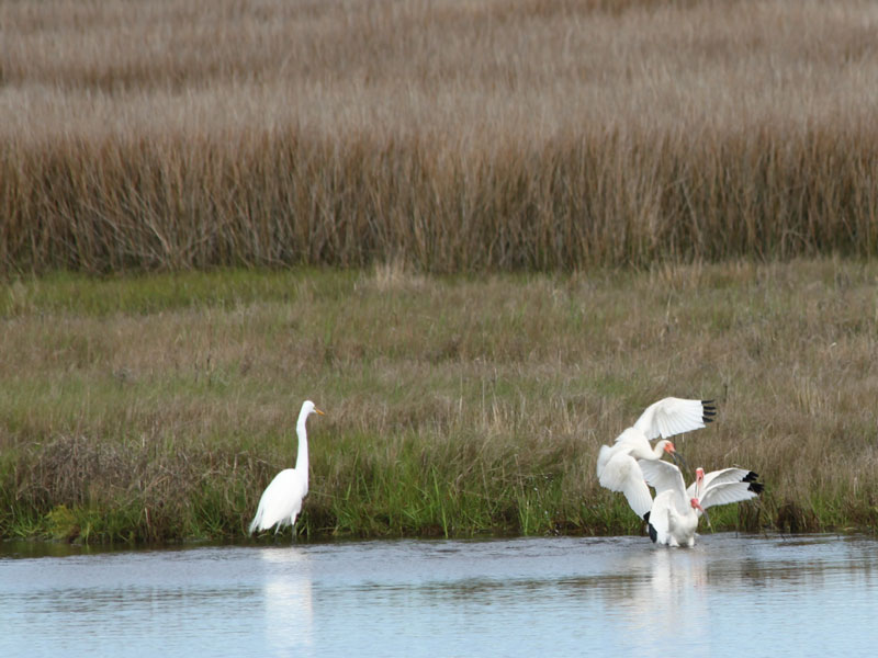 Photo of one great egret and three white ibis on a grass-lined river's edge in Pea Island National Wildlife Refuge close to Nags Head, North Carolina, of the Outer Banks.