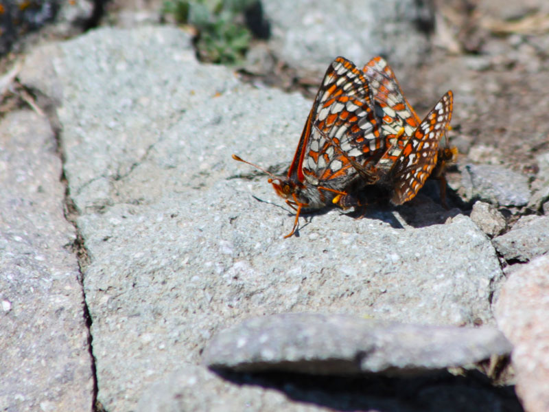 Butterfly on Avalanche Peak, Yellowstone National Park, Wyoming