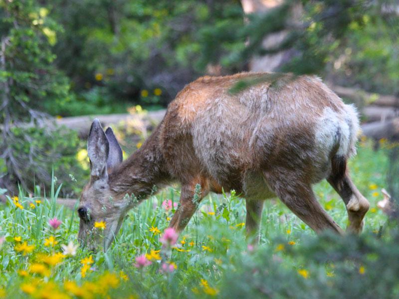Deer grazing on Avalanche Peak, Yellowstone National Park, Wyoming