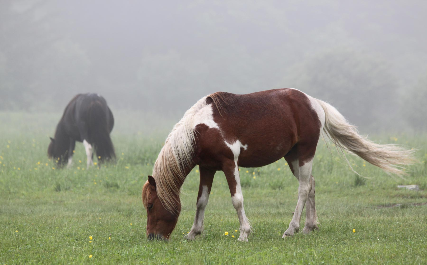 Two ponies grazing in the mist at Grayson Highlands State Park, Virginia