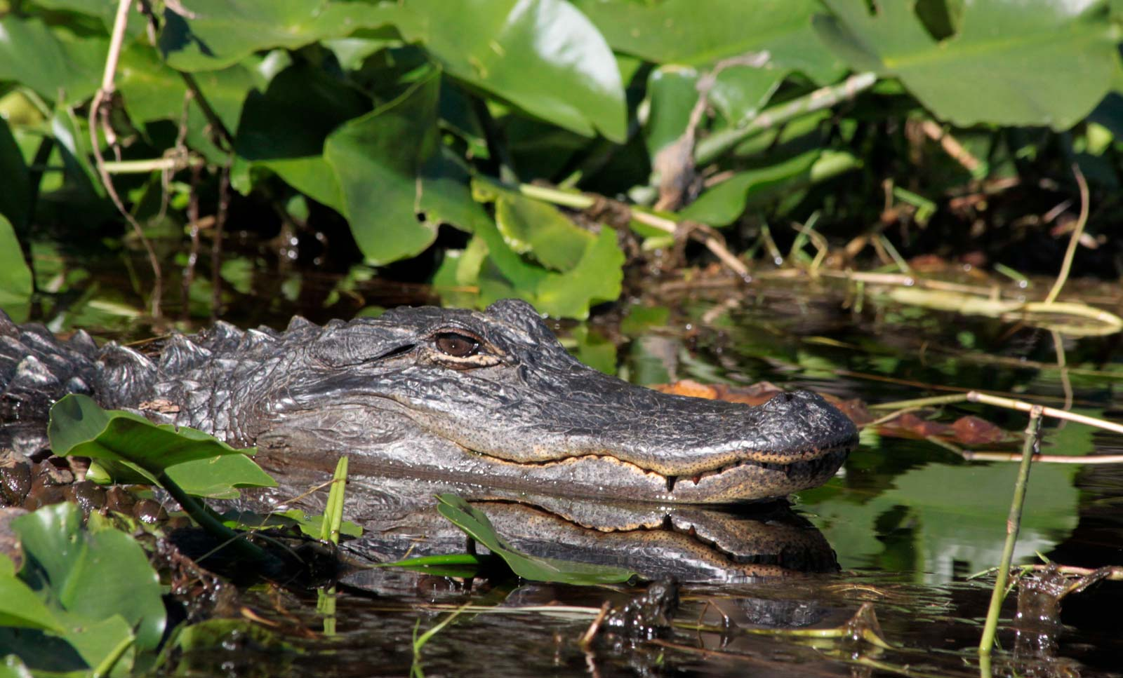 American alligator in Okefenokee Swamp at Stephen C. Foster State Park, Georgia