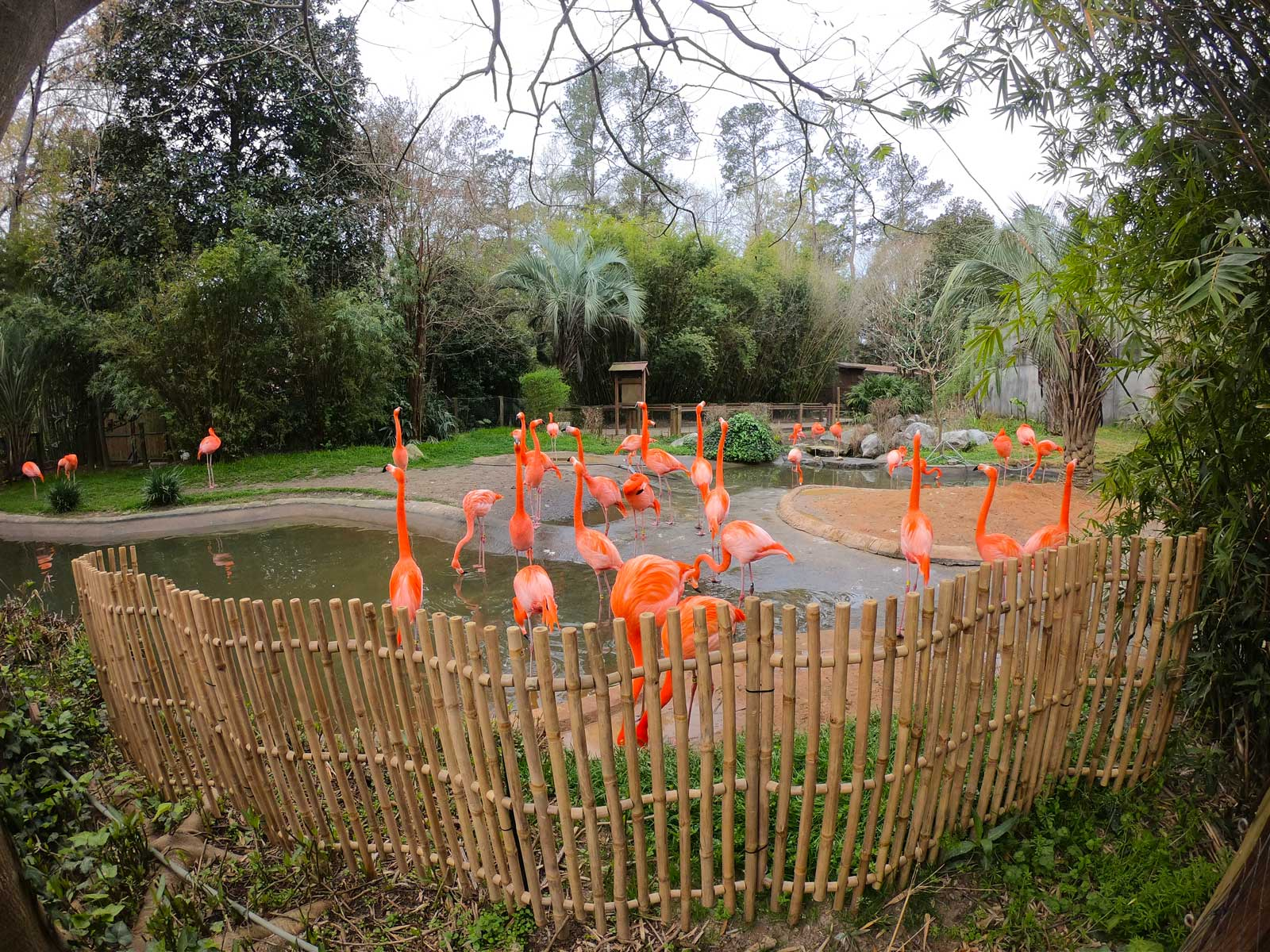 Vibrant pink flock of flamingoes in outside exhibit at Riverbanks Zoo & Garden, Columbia, SC