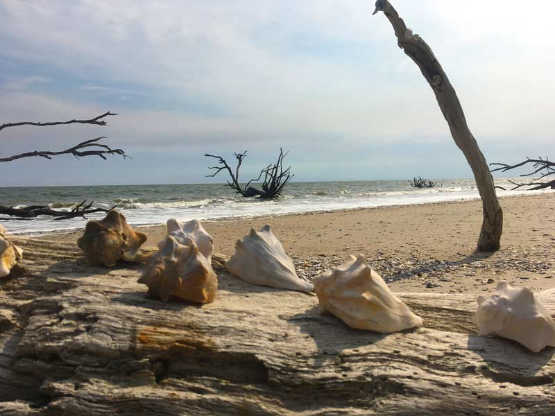 Shells lined up on branch in Botany Bay while camping at Edisto Beach State Park, South Carolina