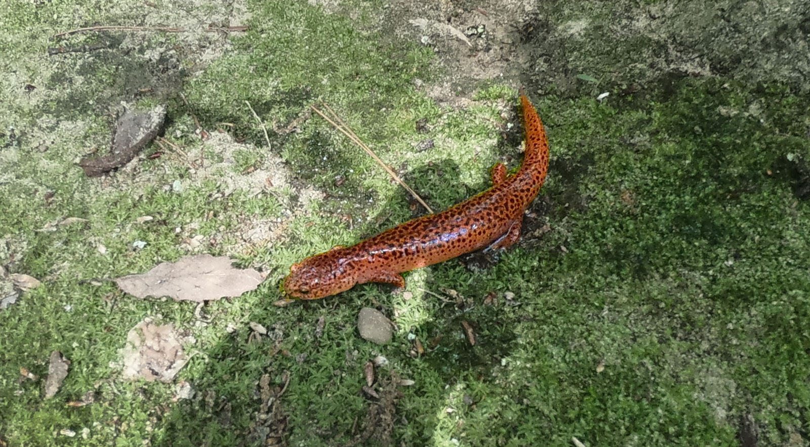 Red salamander at the camping area for Cloudland Canyon State Park, Georgia