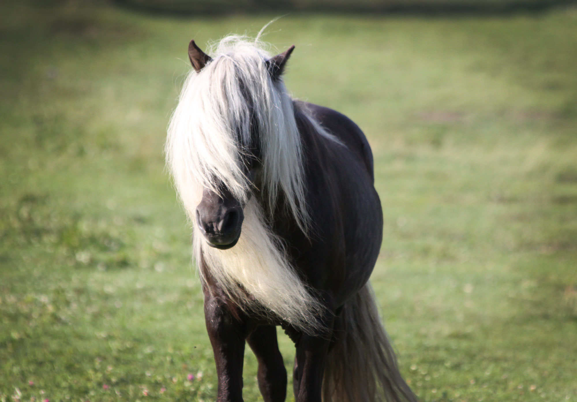 Fabio, the wild pony, during camping trip to Grayson Highlands State Park, Virginia