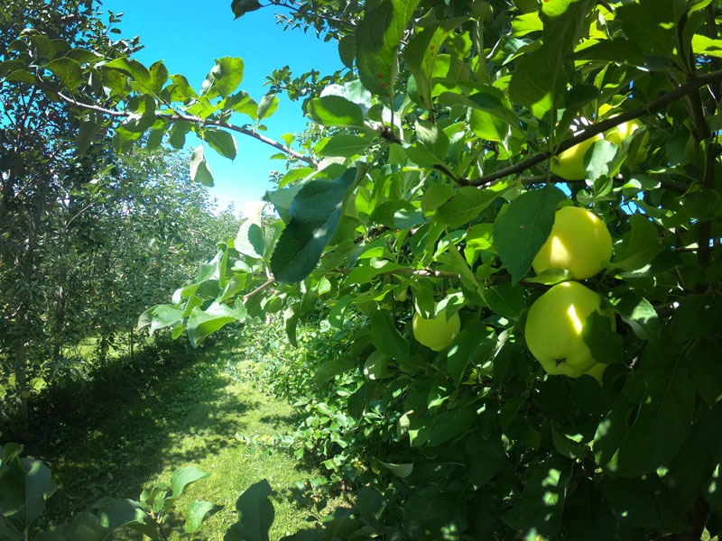 Golden apples in Burtts Apple Orchard, Vermont