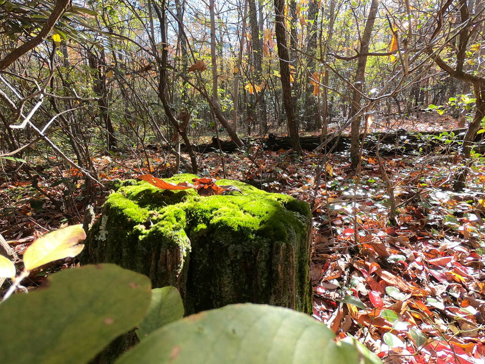 Moss covered stump on Magnolia Springs Trail in Hanging Rock State Park, North Carolina
