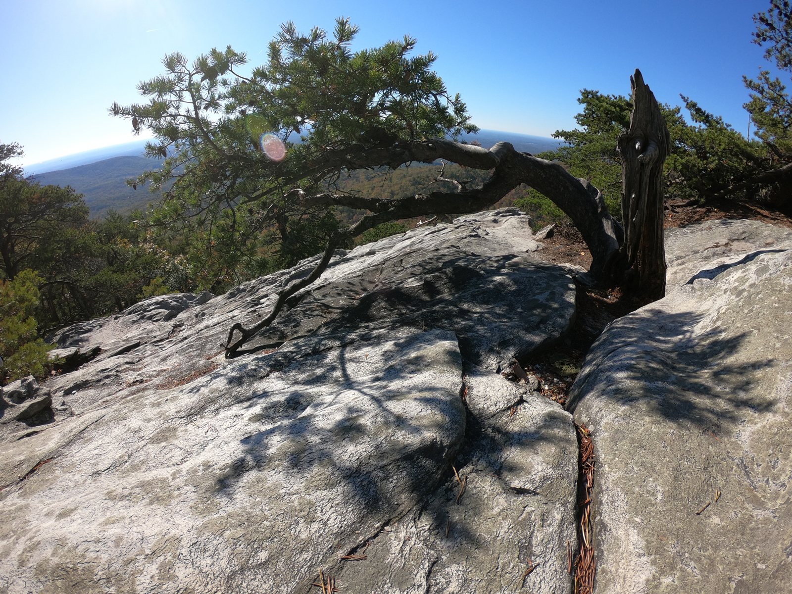 Bent old tree on top of Hanging Rock overlook in Hanging Rock State Park, North Carolina