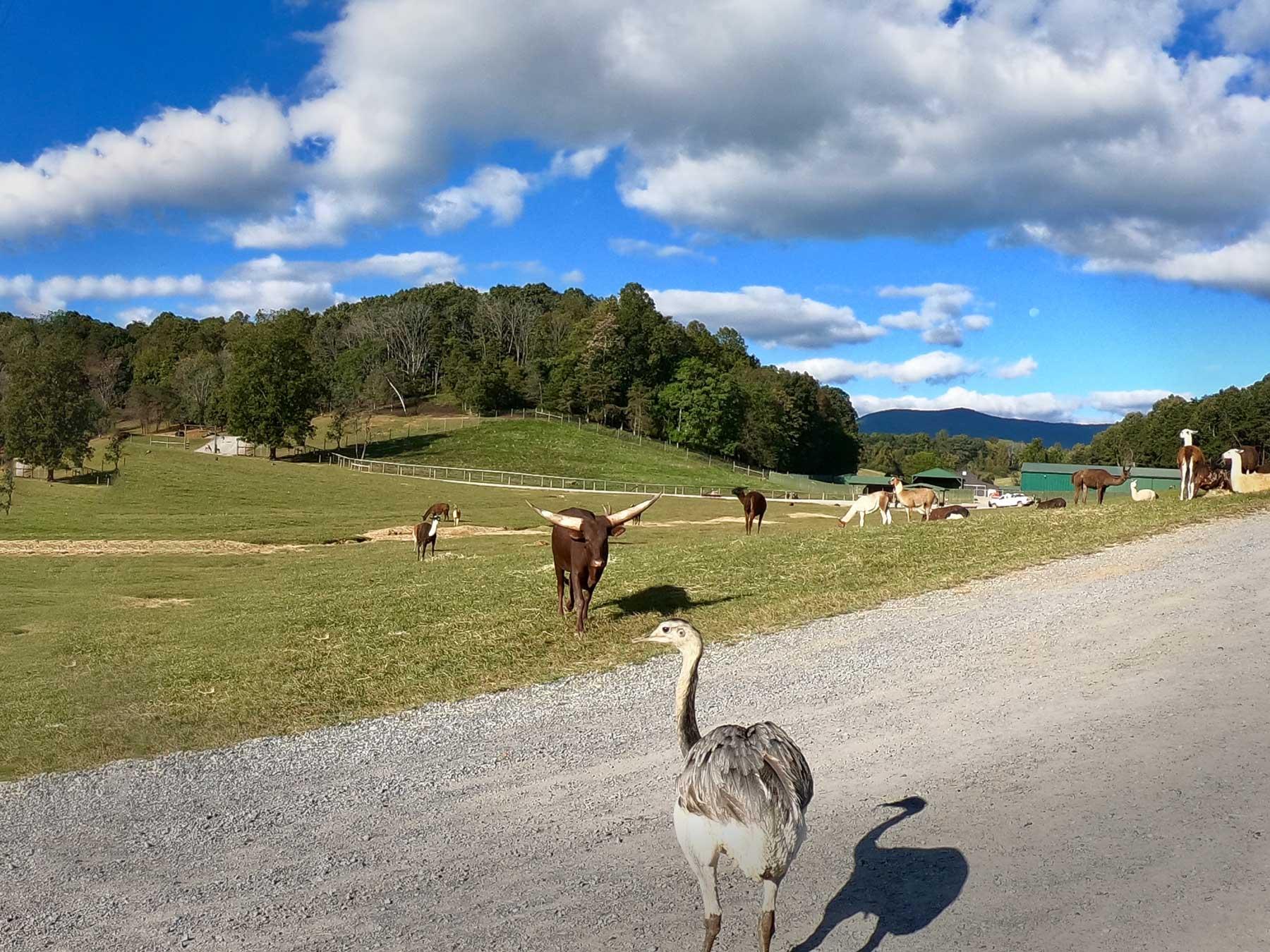 Safari drive view with animals at Virginia Safari Park, Natural Bridge, VA