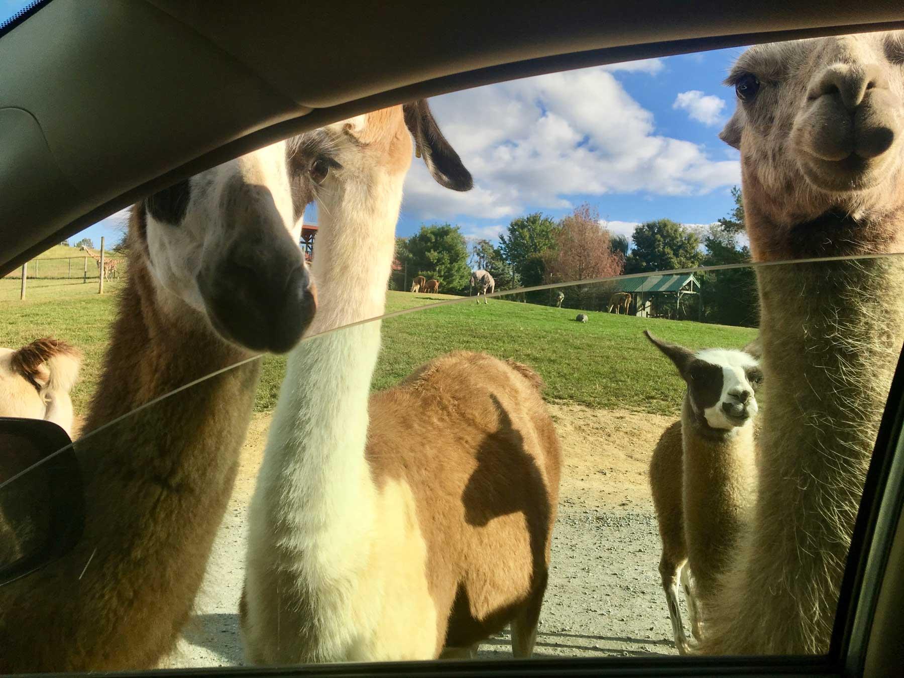 crowd of llamas begging for food at Virginia Safari Park, Natural Bridge, VA