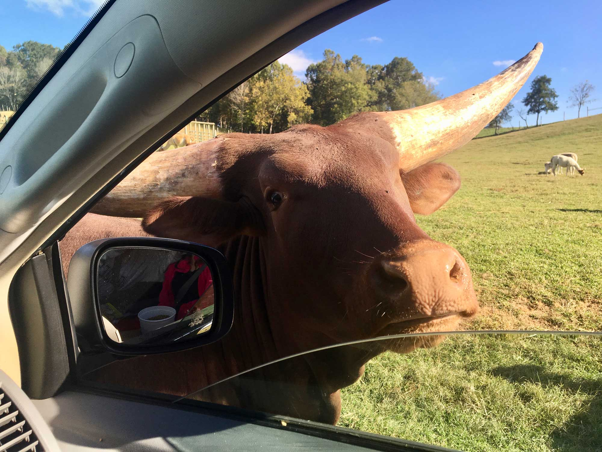 Cow at the car window at Virginia Safari Park, Natural Bridge, VA