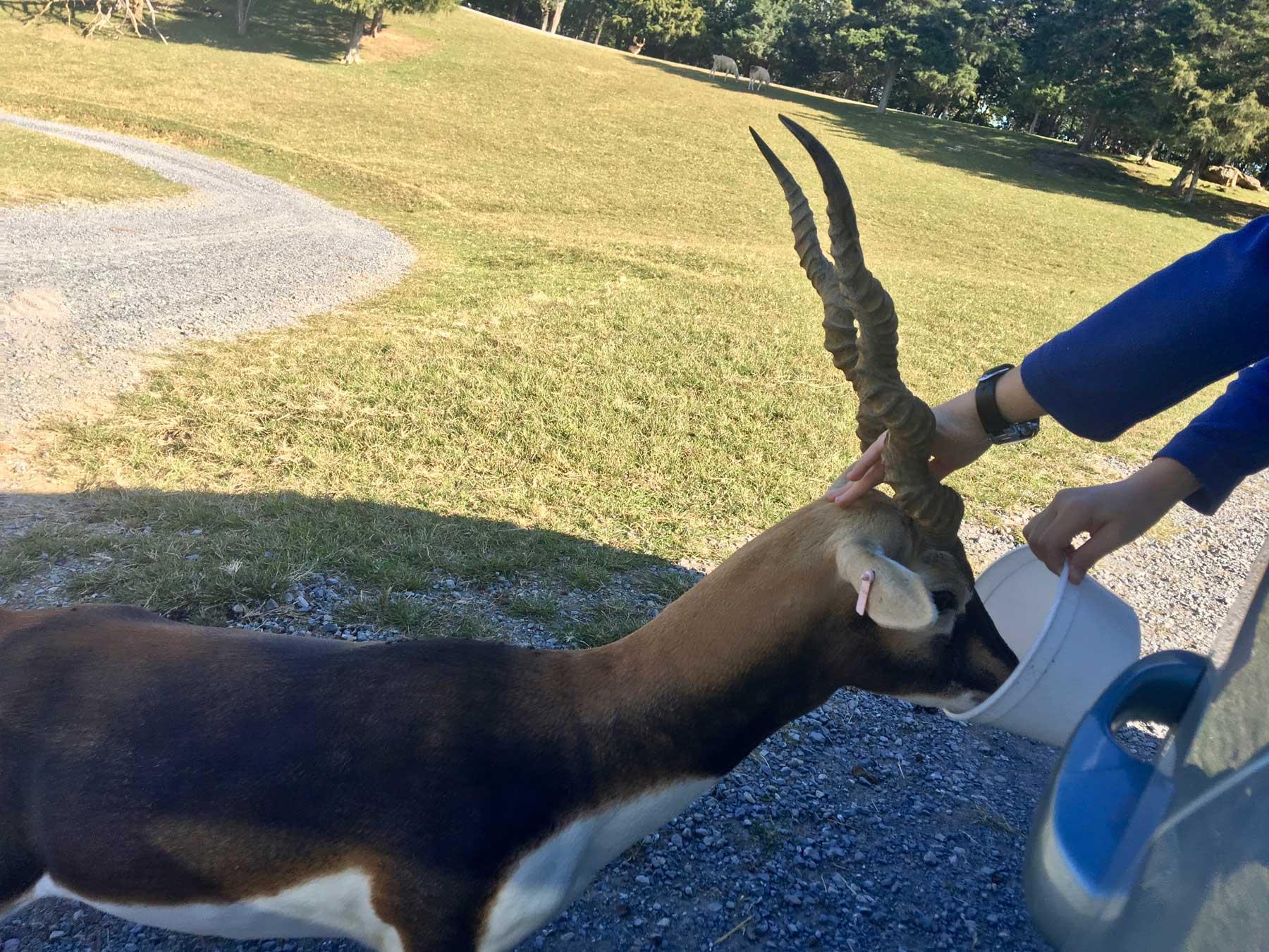 Feeding and petting a spiral-horned blackbuck antelope at Virginia Safari Park, Natural Bridge, VA