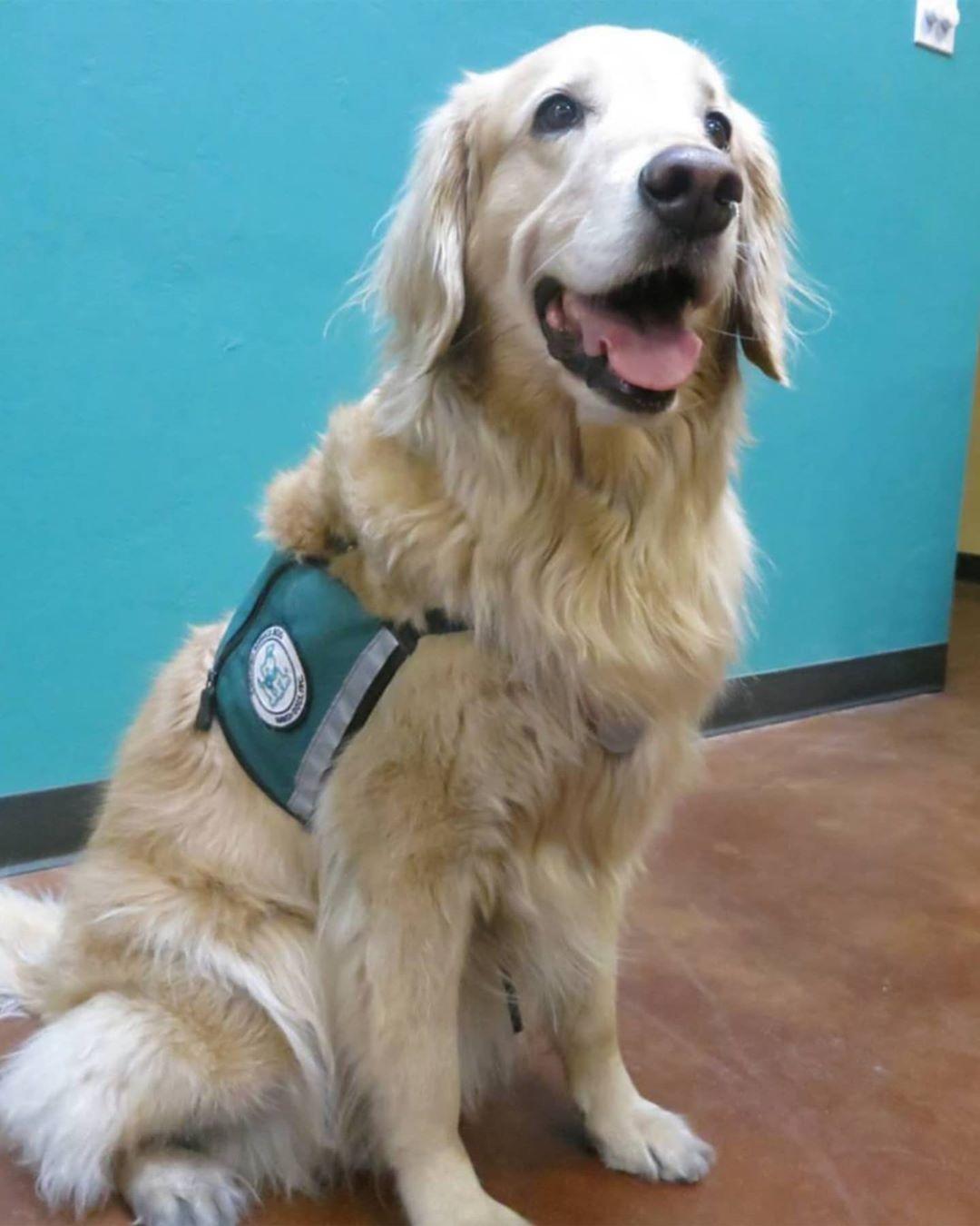 Service Dog in vest