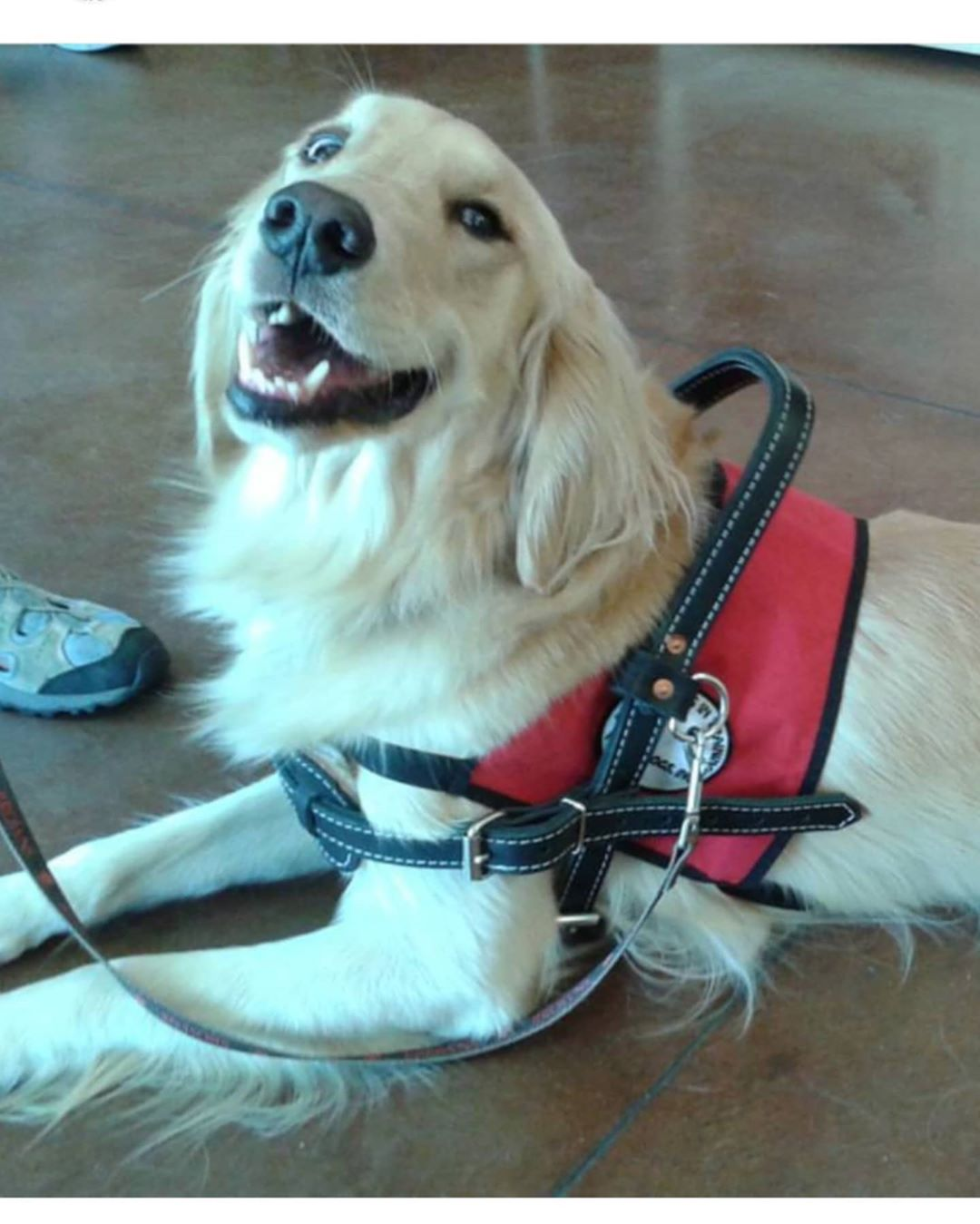 Another service dog in a vest.