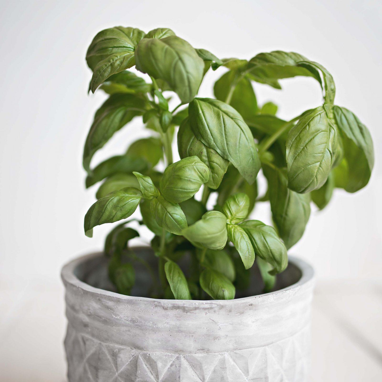 Pot full of basil