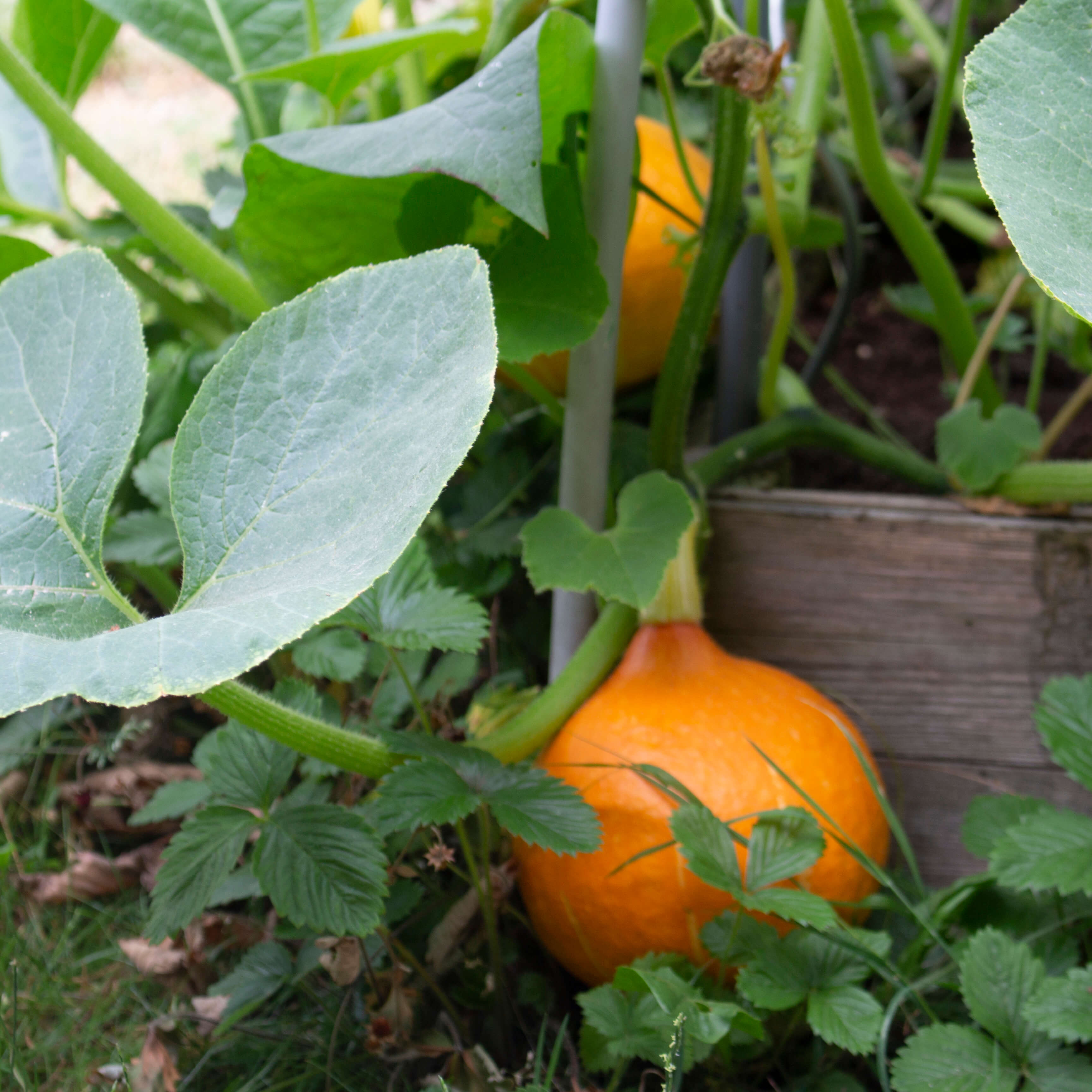 a small orange pumpkin in a vegetable garden surrounded by the plant's leaves. Strawberry leaves in the foreground.