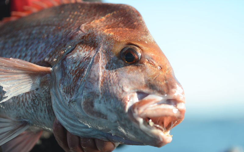 Keep on catching through the cold - Winter snapper guide