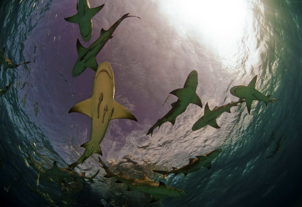 spearfishing with sharks