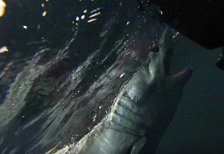 West coast sharks around the jet ski