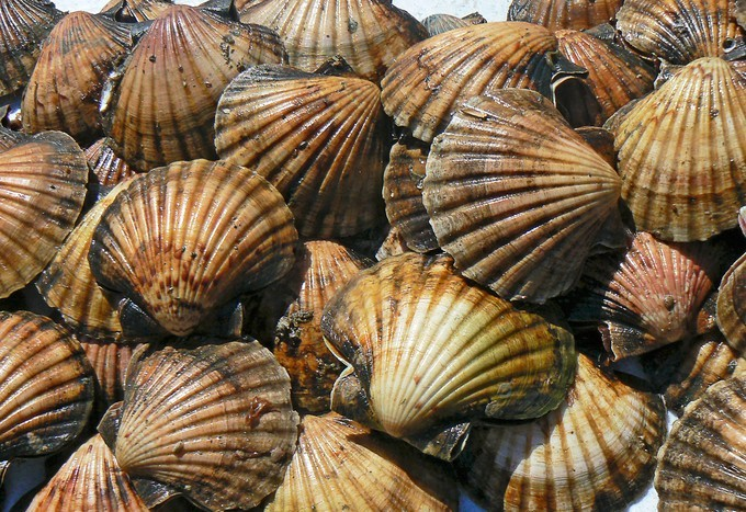 Scallop days are here again