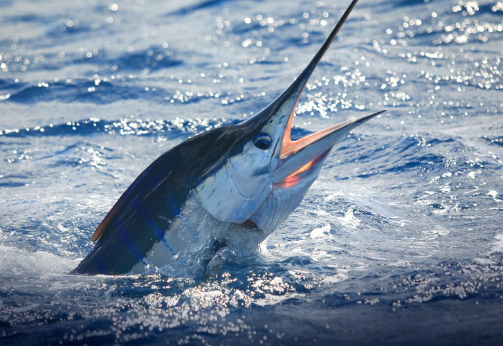 Earning a marlin