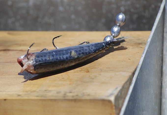 small pilchard bait