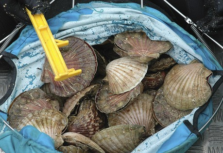 Scallops, one of the many benefits of learning to dive