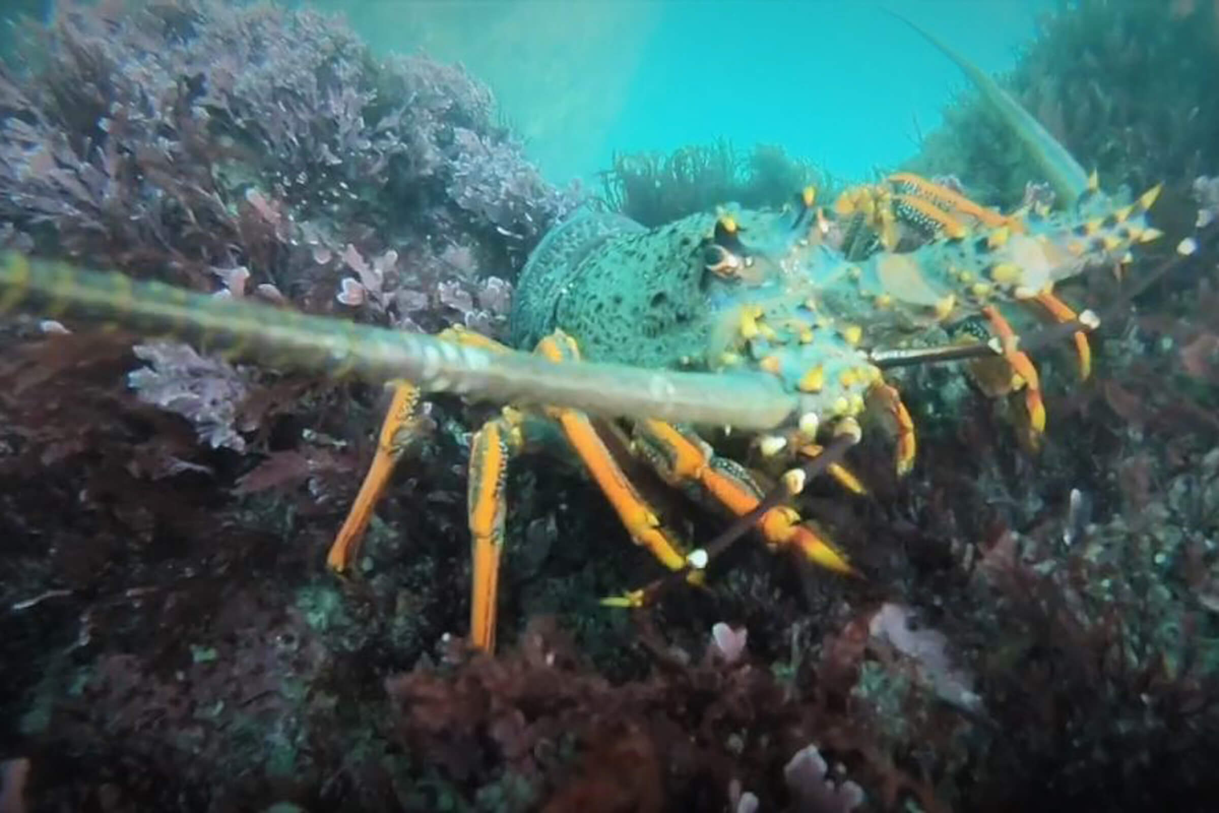 Freediving for Crays, West Coast New Zealand