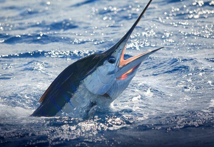 Earning a marlin