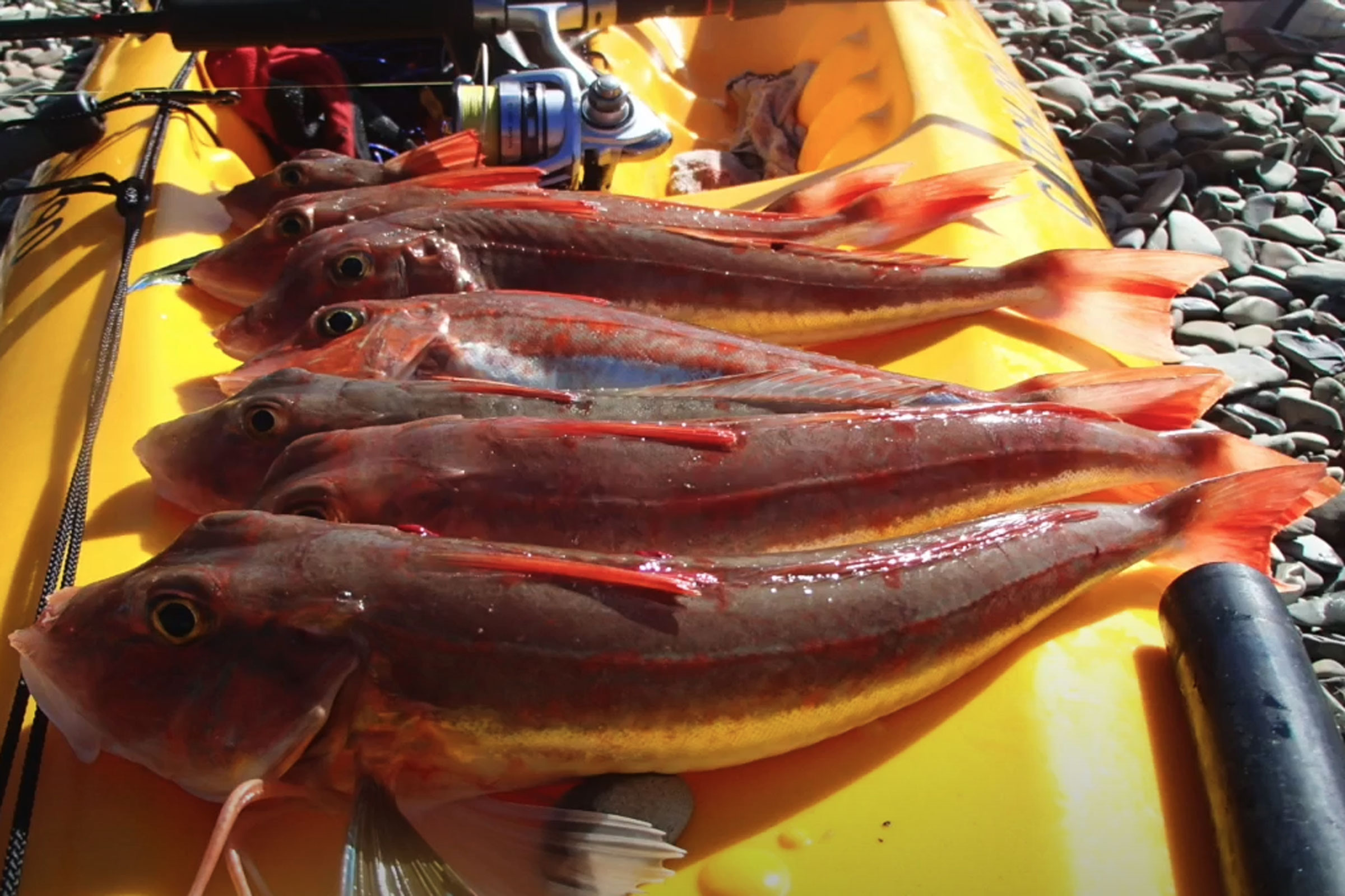 How to rig up for catching gurnard