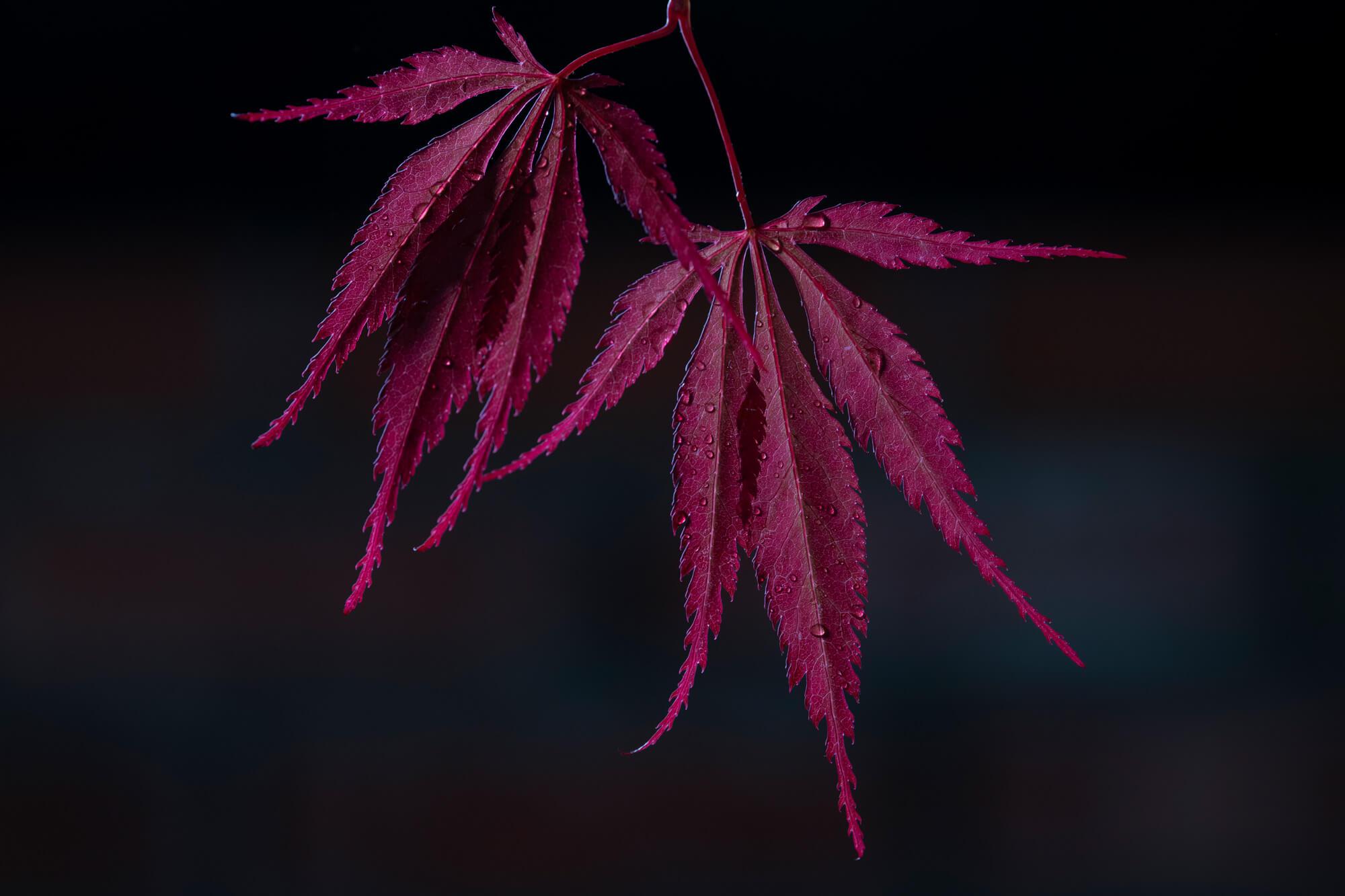 Japanese Maple 1