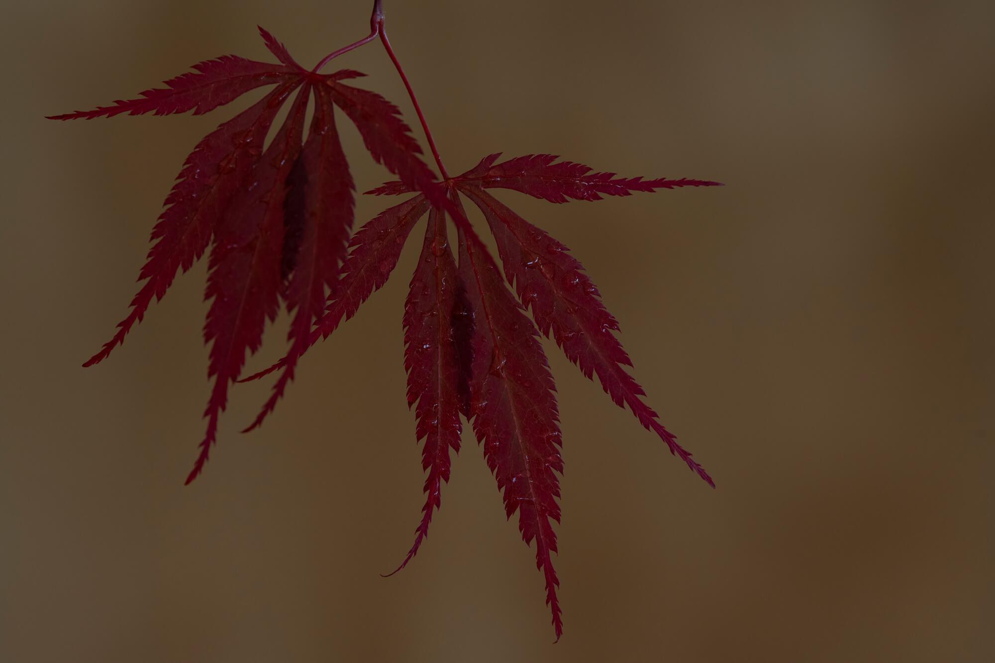 Japanese Maple 4