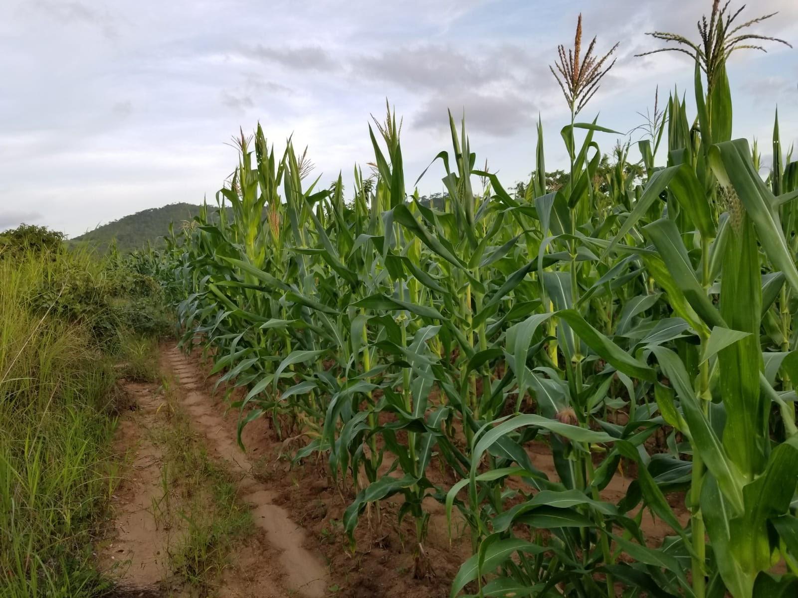 field of crops